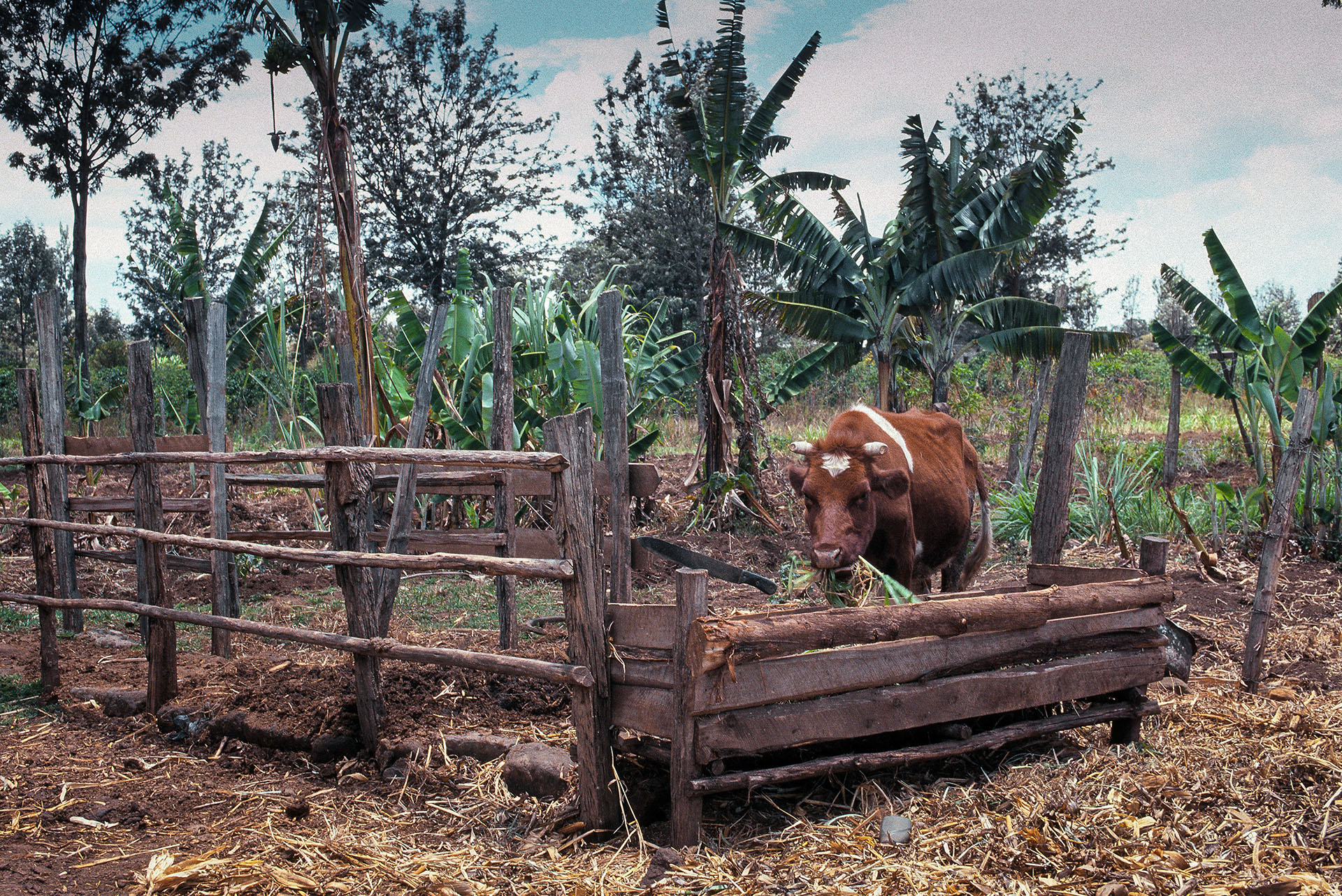 Biogas production from cattle dung is more convenient with 'zero' grazing, with the animals kept in a pen