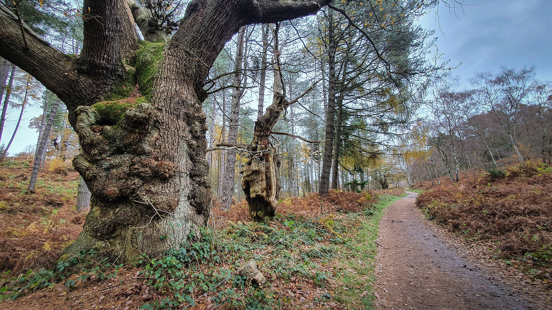 Ancient trees on the Sherbrook Trail between the Stepping Stones and Beggar's Hill